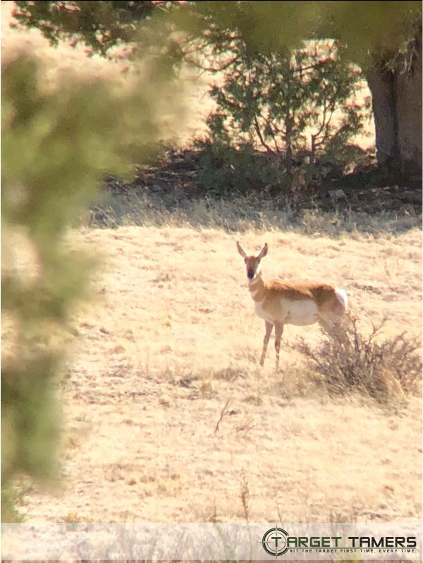 Pronghorn grazing in grassland as seen through digiscope on Maven bino